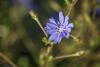 Chicory-_dsc0360 (mx5_jacky) Tags: chicory blue blueflower spain basquecoast