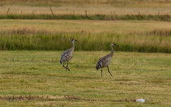 Strolling Along (Nancy King Photography) Tags: birds hayfield nature sandhillcranes wildlife wyoming