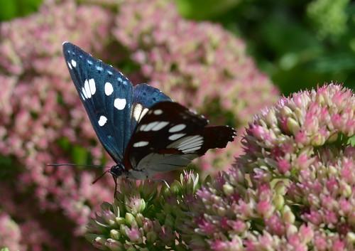 Thumbnail from Spirogyra Butterfly Garden