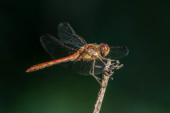 ruddy darter (colin 1957) Tags: dragonfly insect pakenham
