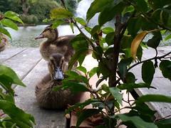 Eendjes / Hotel de Bovenste Molen / Venlo (rob4xs) Tags: venlo eend duck ente joamerdal hoteldebovenstemolen bilderberg jammerdaalscheheide duckling iphonephoto nederland thenetherlands limburg vijver pond iphone iphonefoto