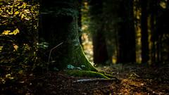 The Best Feeling (mattosberger) Tags: nature natur natureza outside outdoor sun hour sunlight golden sunset forest woods floresta switzerland tree foret bois wood leaf summer autumn baum arvore green verde grn canon 50mm
