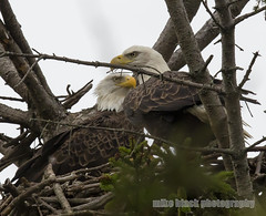 Bald Eagle pair at NJ shore (Mike Black photography) Tags: bald eagle bird birding new jersey shore nj canon 5dsr 600mm ii lens is usm l mike black shark river belmar white big year