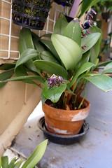 Pleurothallis tuerckheimii 1-1 species orchid, 1st bloom after repotting  7-16 (nolehace) Tags: pleurothallis tuerckheimii species orchid 716 summer nolehace sanfrancisco fz1000 flower bloom plant