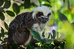 Cotton top Tamarin 635 (_Rjc9666_) Tags: algarve cottontoptamarin jardimzoologico nikkor55200mm nikond5100 portugal saguimcabeadealgodo wildlife ruijorge9666 barodesojoo faro pt 1541 635