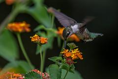 Juvenile Ruby-throated Hummingbird Feeding on Lantana (Bill Varney) Tags: hummingbird flower lantana eat feed feeding outdoor canon migrate bif bird flight fly flying billvarney