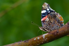 DSCF0221 (faki_) Tags: fuji fujifilm xe1 fujinonxc50230mmf4567ois 50230 rovar insect lepke butterfly