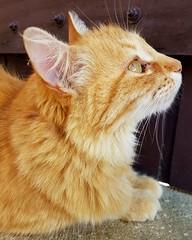 Minha linda... (dboramaria1) Tags: gato gata gataamarela gatoamarelo vida natureza nature amarelo olhos olhar madeira marrom ar belezanatural beleza