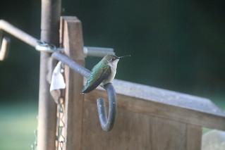 92/365/3014 (September 11, 2016) - Hummingbirds in my backyard in September, 2016 (Saline, Michigan)