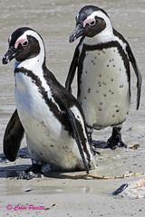 african penguin1 (spheniscus demersus) (Colin Pacitti) Tags: africanpenguin spheniscusdemersus jackasspenguin penguin seabird wildbird bird animal outdoor simonstown southafrica eiap coth fantasticwildlife birdperfect hennysanimals ngc sunrays5