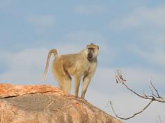 FSCN4060a (David Bygott) Tags: africa tanzania ruaha yellowbaboon kopje rock ruahariverlodge