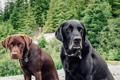 chase-roam-brohm-050716-ajbarlas-7444-2.jpg (A R D O R) Tags: ajbarlas ardorphotography chase dogs puppy roam