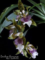 Oncidium (Odontoglossum) harryanum par Raoul (cattlaelia) Tags: cattlaelia orchid orchidée oncidium odontoglossum