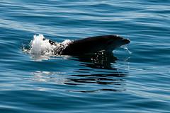 Dolphin, Alboran Sea, Mediterranean, Andalusia, Spain (rmk2112rmk) Tags: dolphin alboransea mediterranean andalusia spain alboran