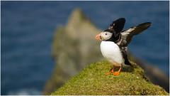 Puffin at Hermaness (pstani) Tags: uk bird scotland puffin shetland unst fraterculaarctica hermaness nikond90 pstani