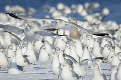 GULLS ON A SNOW COVERED BEACH (nsxbirder) Tags: ohio ringbilledgull larusdelawarensis caesarcreekstatepark harveysburg