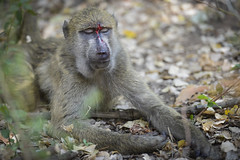 Zambia - Injured Baboon (andy6white) Tags: africa trip canada blur colour vancouver nikon focus bc bright zoom bokeh north ii distance f28 aw vr zambia 2012 d800 70200mm andywhite andy6white aemw