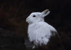 Mountain Hare (Martial2010) Tags: mountain canon scotland hare angus