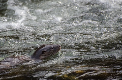 Otter / Nutria (Lutra lutra) (john_shackleton) Tags: espaa ro river spain asturias otter nutria lutralutra