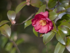 (Polotaro) Tags: flower nature pen olympus   camellia  sasanqua  zuiko ep1   gzuiko50mmf14