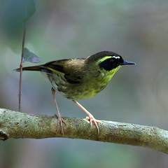 Yellow-throated Scrubwren (Sericornis citreogularis) from Bunya Mountains, Queensland (sandpiper3) Tags: queensland bunyamountains sericorniscitreogularis yellowthroatedscrubwren