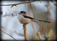 Long Tailed Tit (Ally.Kemp) Tags: winter long tit tits tailed blackisle avoch rossshire