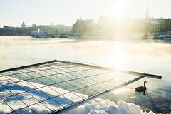 Fence, Swan (Fredrik Forsberg) Tags: winter snow cold sweden stockholm gx1 sjrk
