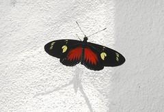 Dot-bordered Heliconian, red form (birding4ever) Tags: 5 dorislongwing laparusdoris dotborderedheliconian