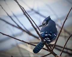 Bluejay (bratli) Tags: bird bluejay 97 outmywindow bratli 113picturesin2013 somethingthatbeginswithb