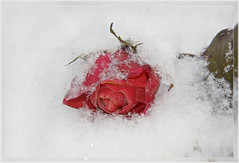 Lost Rose in the snow on the marketplace (scorpion (13)) Tags: winter snow cold flower nature rose season lost blossom frame marketplace photoart