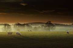 Happy saturday (Eric Goncalves (back)) Tags: morning trees mist cold color grass fog sunrise sheep gloucestershire array graze n