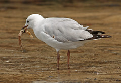 Seagull eating Pipefish (TheGreatContini) Tags: bird eating seagull gull sydney australia silvergull