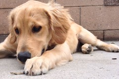 Dogs don't know my name (mockstar) Tags: dogs puppy losangeles davidpoe desanimaux goldenretreiever