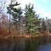 Pine trees - Conifers | Pinos - Coníferas