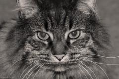 Gizmo (Switzer-Land Studios) Tags: white house black animal cat nikon maine 100mm tokina filter coon warming cs6 tokina100mmf28atxprod d3100