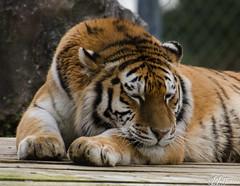 Amur Tiger (Stavros043) Tags: england cats bigcat marwell wildlifepark owslebury flickrbigcats