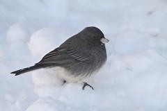 ~Snow Bird~ (cheryl c.) Tags: snow cold nature birds bradley nocrop aftertheblizzard calmafterthestorm sooc butcute juncobird blinkagain exceptforabitoflightening