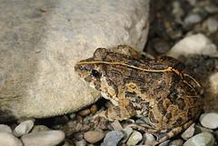 DSC_6699 Indian rice frog / 澤蛙 (terago) Tags: animal nikon taiwan frog kaohsiung tamron 90mm tamron90mm amphibia indianricefrog d80 澤蛙 fejervaryalimnocharis