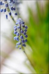 Bloemen-IMG_7608 (jac135) Tags: flowers blue macro canon blauw 100mm subjects bloemen blauwedruifjes bluegrapehyacinths 5dmii
