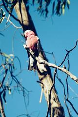 Galah (Kya Cookie) Tags: sky tree bird nature up animal flying australian cockatoo galah pinkandgrey pinkandgray galahcockatoo rosebreastedcockatoo roseatecockatoo