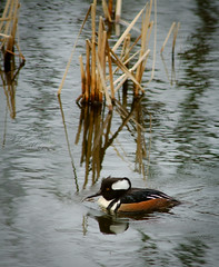 Hooded Merganser on the Pond (Paul T. Marsh/PositivePaul) Tags: color bird animal olympia pacificnorthwest manualfocus hoodedmerganser supertelephoto 2013 animalbehavior fujis3pro manualmetering lightroom3 wwwpaulmphotographycom paulmarshphotography nikon400mmf35ais