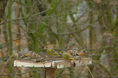 Greenfinches and Bramblings (AnneTanne) Tags: fringilla brambling fringillamontifringilla montifringilla