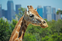 Tall Poppy in the City (Emanuel Papamanolis) Tags: giraffe tarongazoo mygearandme allofnatureswildlifelevel1 me2youphotographylevel1 winnerchallengeclub