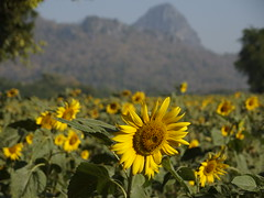 Sunflower Field Thai Feld Sonnenblumen Tan Tawan Central Thailand Southeast Asia Asien (hn.) Tags: flowers copyright mountain mountains flower berg field asian thailand asia asien heiconeumeyer southeastasia sdostasien farm hill farming feld blumen hills berge mount sunflowers thai sunflower blume cultivation lopburi anbau sonnenblume copyrighted hgel sonnenblumen sunflowerfield sonnenblumenfeld centralthailand tantawan lopburiprovince zentralthailand mueanglopburi tp201213 nikhomsangtoneng amphoemueanglopburi mittelthailand