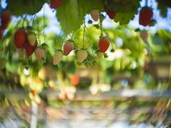 イチゴ狩り (mijabi) Tags: bokeh guruguru strawberrypicking cmount