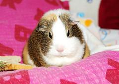 Grumpy... VERY grumpy ~ Balbinka (pyza*) Tags: pet cute girl animal monster mammal guinea guineapig cavy rodent critter fat adorable lovely chubby grumpy balbi balbinka winkamorska