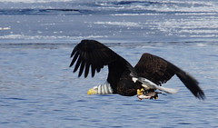 EagleFishing3 (jimehle58) Tags: slta77v