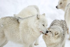 Arctic Wolf (Perry McKenna) Tags: male wolf social pack alpha wolves arcticwolf beautifulanimals stunninganimals packbehaviour