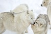 Arctic Wolf (Perry McKenna) Tags: male wolf social pack alpha wolves arcticwolf beautifulanimals stunninganimals packbehaviour