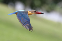 Flying king (kampang) Tags: flight storkbilledkingfisher pelargopsiscapensis